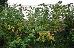 Maliník odrůdy